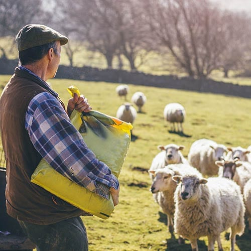 Farmer Feeding His Sheep - Agriculture Image